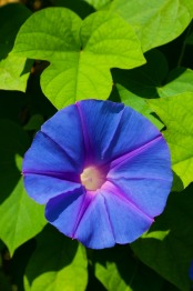 morning_glory_flower_196133
