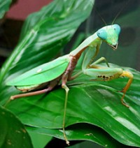 Praying mantis 2